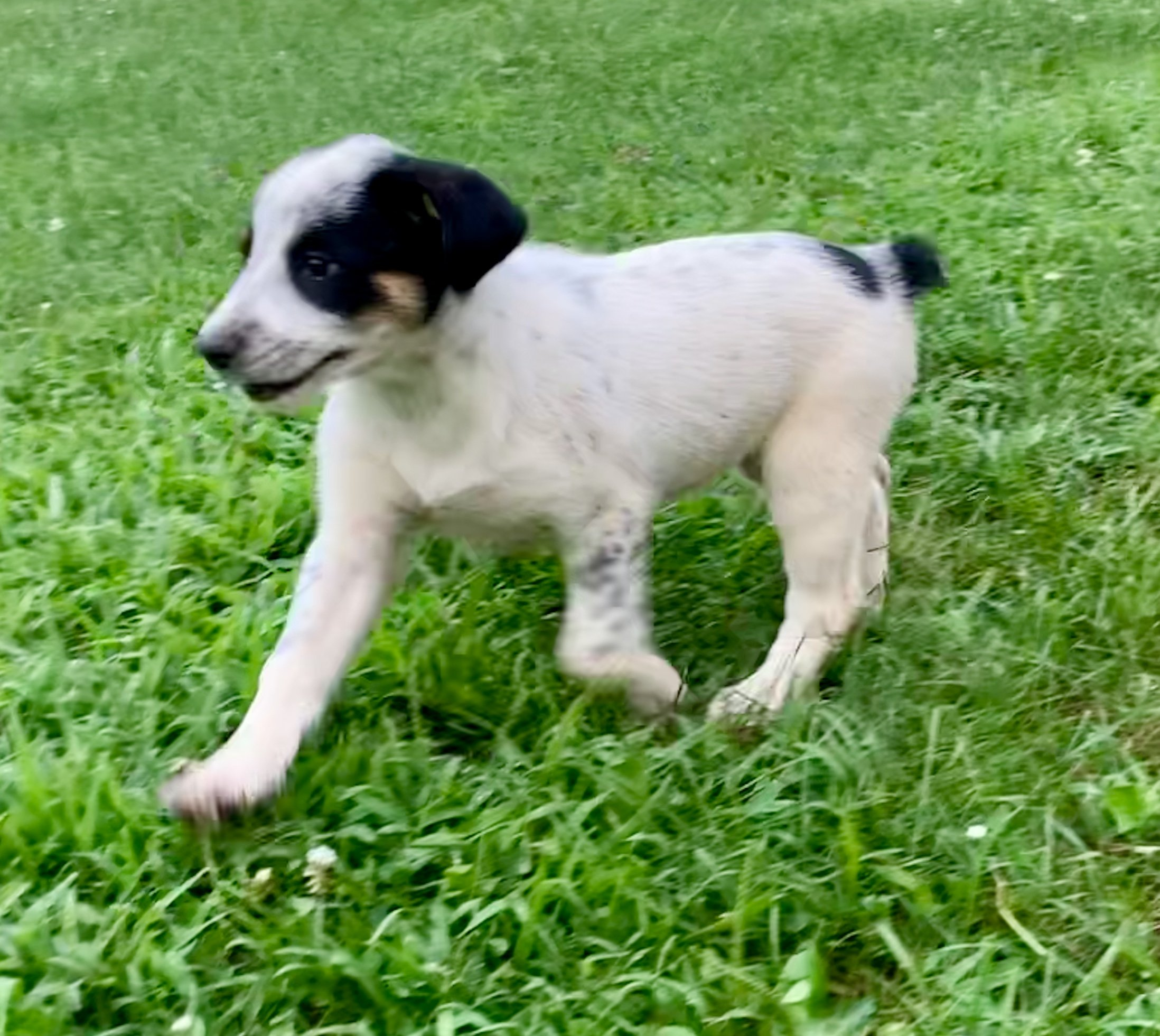 Newt - Australian Shepherd puppies for sale in Amanda, Ohio