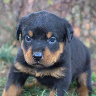 Rottweiler Puppies for Sale (Cute, Smart, & Healthy) | VIP Puppies