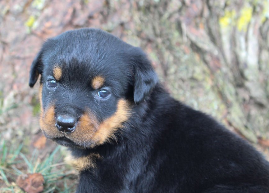 Brooke - Female AKC Rottweiler pup for sale in Shipshewana, Indiana