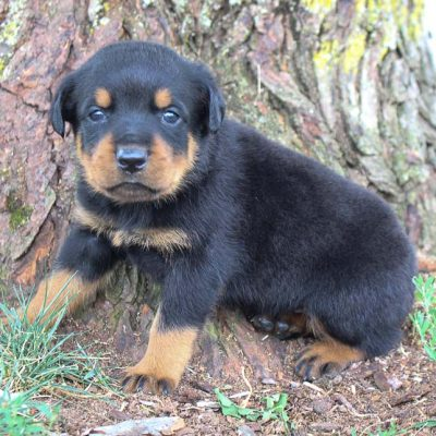 Rottweiler Puppies for Sale (Cute, Smart, & Healthy)   VIP Puppies