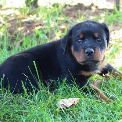 Bella - Female AKC Rottweiler puppy for sale in Shipshewana, Indiana
