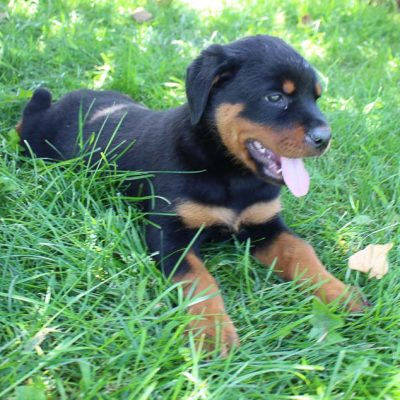 Brittney - Female Rottweiler pupper in Shipshewana, Indiana for sale