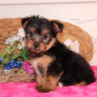 Addica - a pupper Yorkshire Terrier for sale in Nappanee, Indiana
