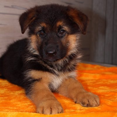 Buster - puppy German Shepherd in Nappanee, Indiana for sale