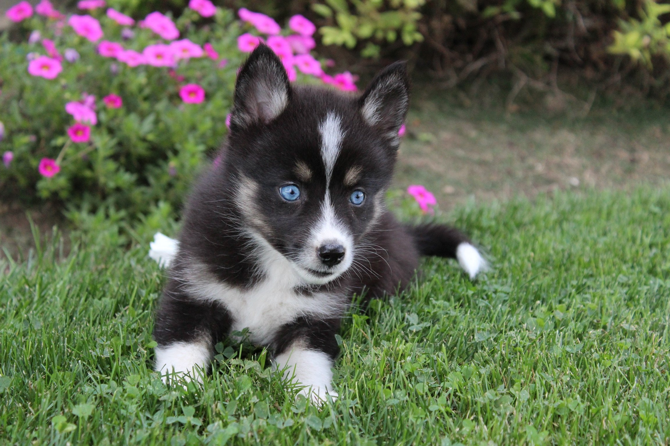 Jen - girl Pomsky puppies for sale in Indiana | VIP Puppies