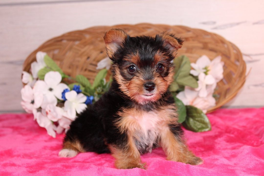 New born puppies Yorkshire Terrier for sale near Nappanee, Indiana