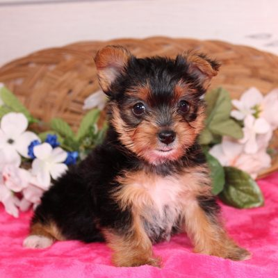 Macy - Yorkshire Terrier puppies for sale in Nappanee, Indiana