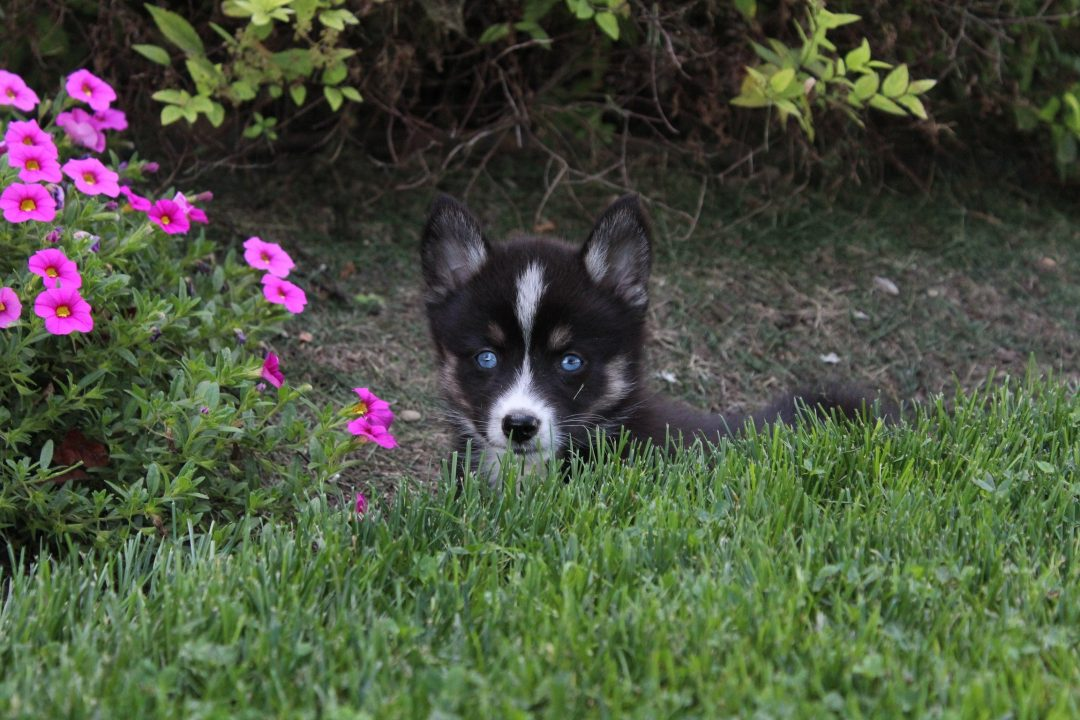 Jen - girl Pomsky puppies for sale in Indiana