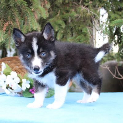 Buddy - male Pomsky puppy for sale in Nappanee, Indiana