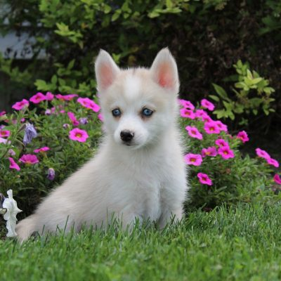Cindy - female CKC Pomsky puppy for sale in Nappanee, Indiana