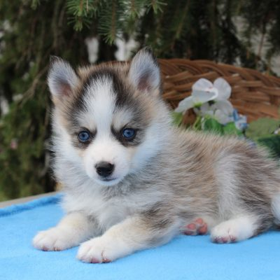 Mary - female Pomsky puppy in Nappanee, Indiana for sale