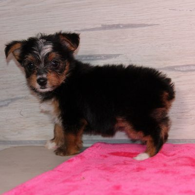 Tina - a female Yorkie pup for sale in Nappanee, Indiana
