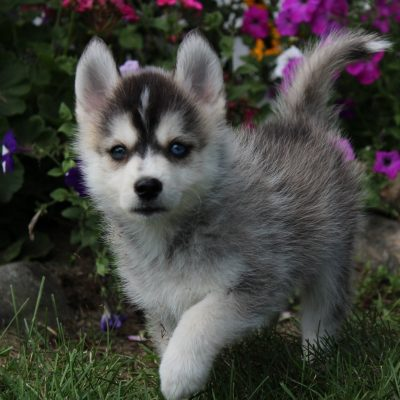 Mack - Pomsky puppies in Nappanee, Indiana for sale
