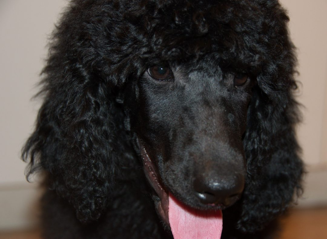 Daffodil – AKC Poodle Puppy for sale in Clearwater, Florida