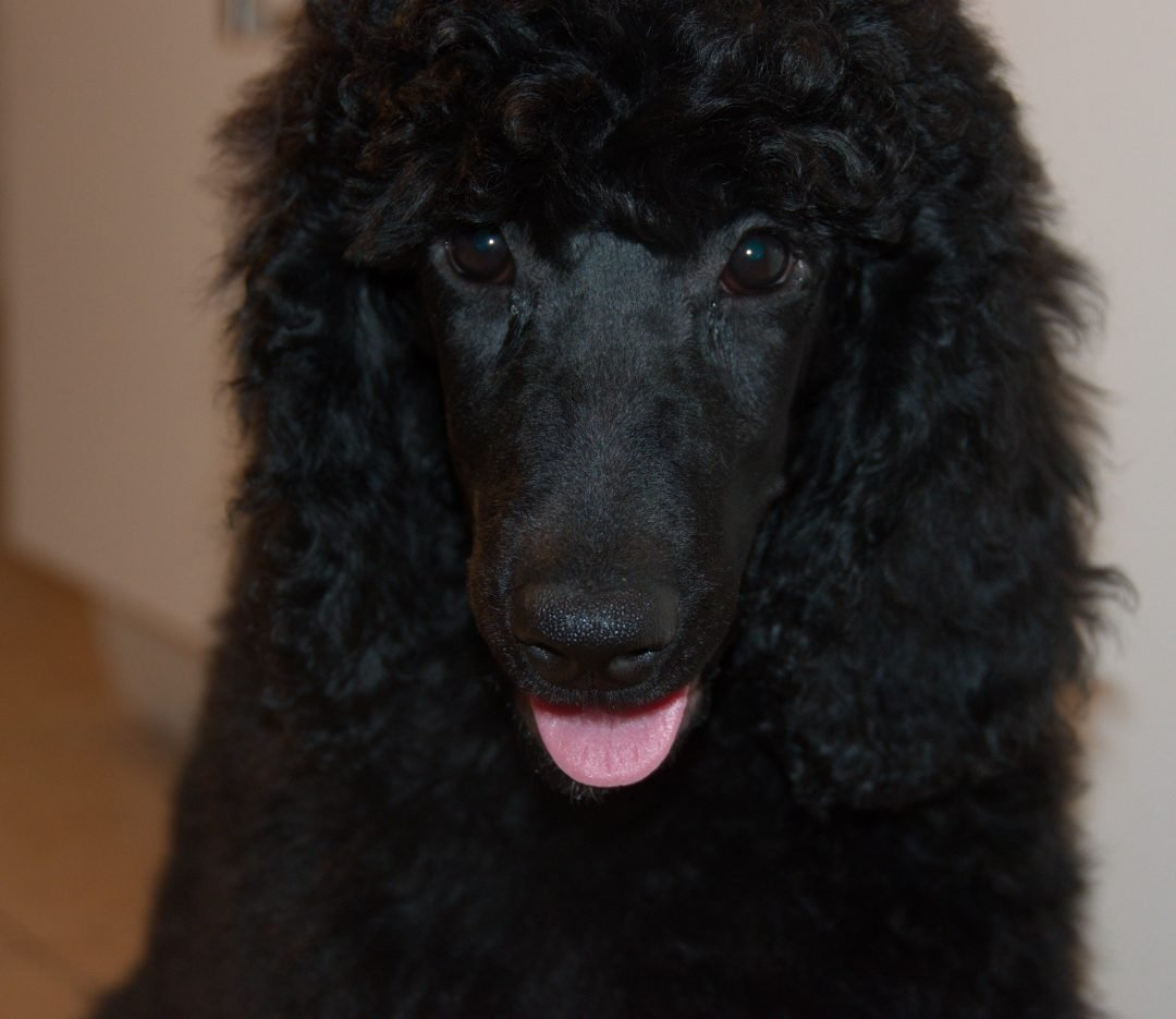 Rosebud – AKC Poodle puppy for sale in Clearwater, Florida