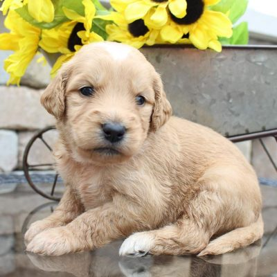 Mabel - a female Goldendoodle puppy for sale in New Haven, IN