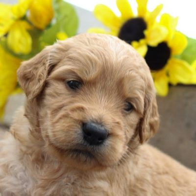 Olivia - a female Goldendoodle pup for sale in New Haven, Indiana