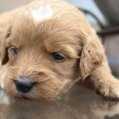 Trisha - a female puppy Goldendoodle for sale in New Haven, Indiana