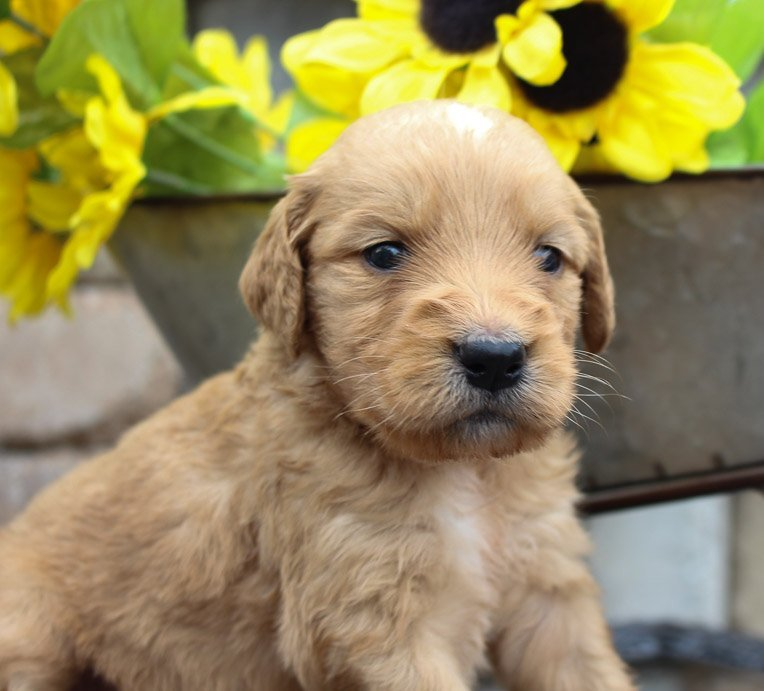 Skye - a male Goldendoodle puppy for sale in New Haven, IN