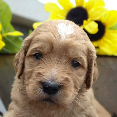 Stella - a female Goldendoodle for sale in New Haven, Indiana