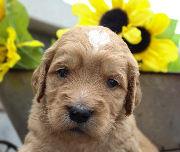 Stella – a female Goldendoodle for sale in New Haven, Indiana