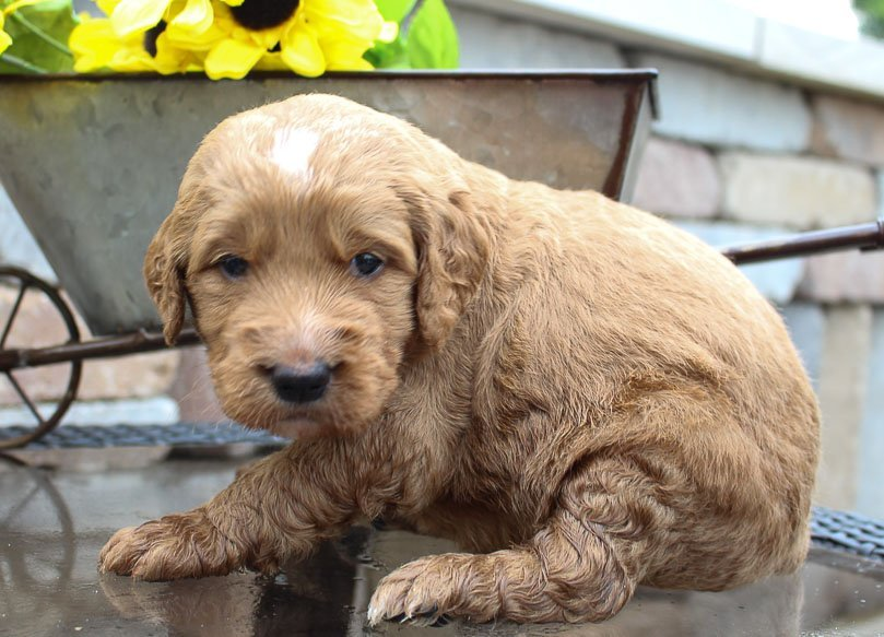 Oliver - a male Goldendoodle for sale in New Haven, Indiana | VIP Puppies
