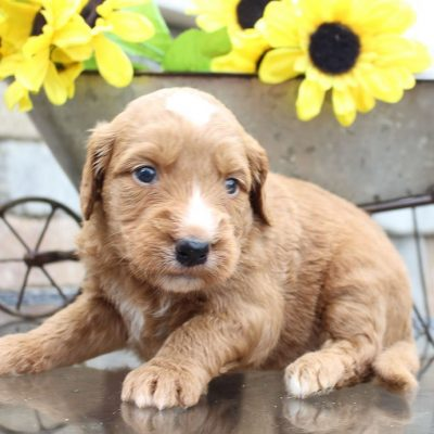 Lincoln - Goldendoodle puppy for sale in New Haven, Indiana