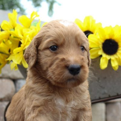 Cooper – Goldendoodle puppies for sale near Fort Wayne, Indiana
