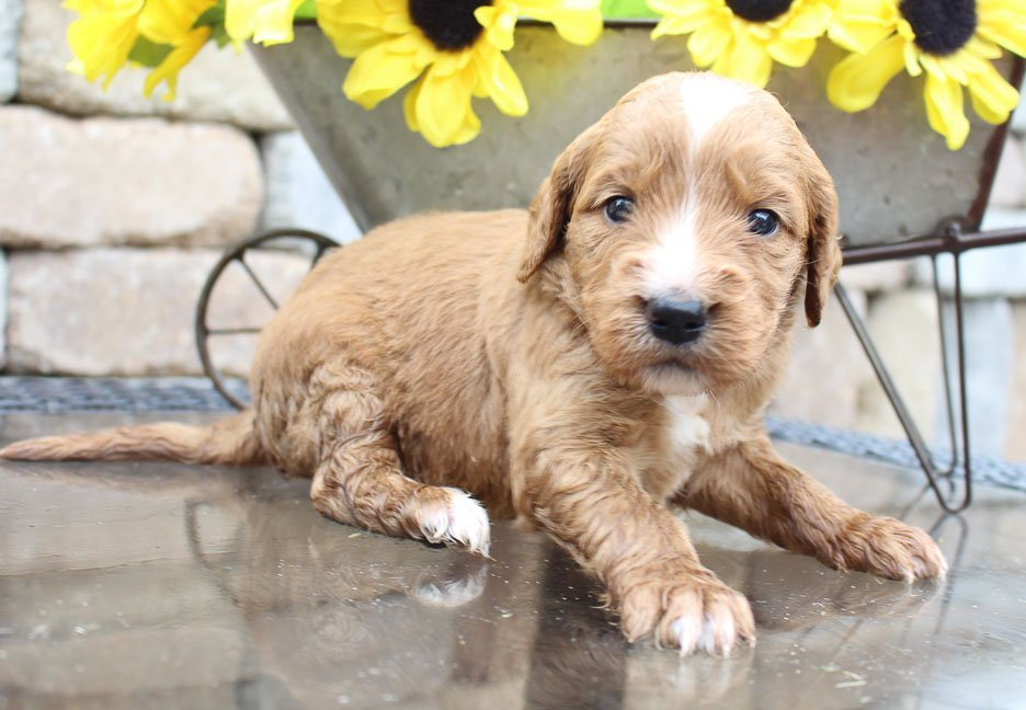 Flossie – girl Goldendoodle pupper for sale in New Haven, Indiana