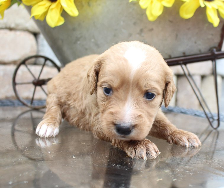 Mia – female Goldendoodles for sale in New Haven, Indiana