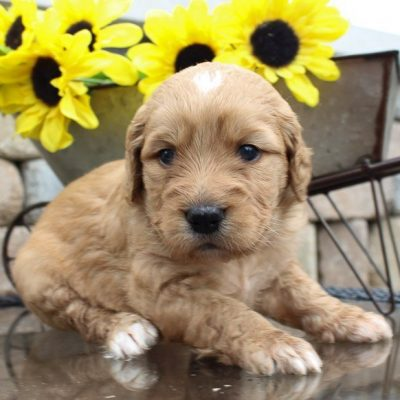 Nikki – puppy Goldendoodle for sale in Indiana