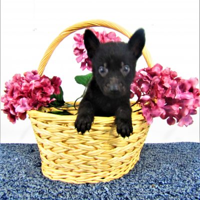 Max - a German Shepherd male AKC puppy in New Haven, Indiana for sale