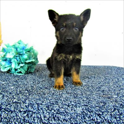Sadie - female German Shepherd puppy near Fort Wayne, IN for sale