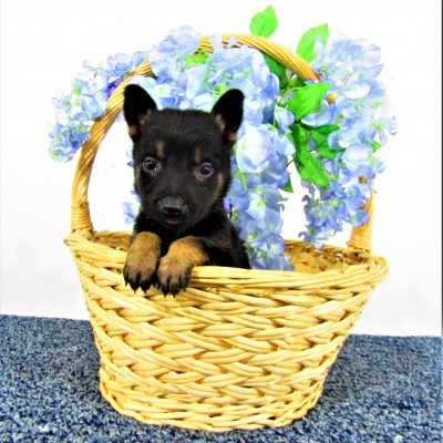 Sally - female German Shepherd puppies near Fort Wayne, Indiana for sale