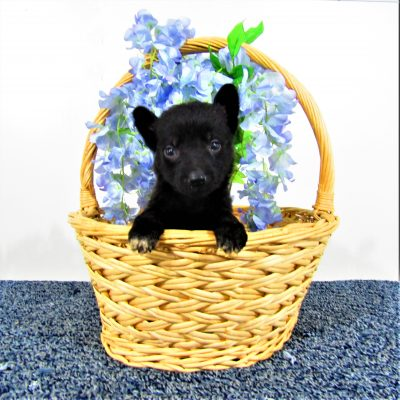 Blackie - girl AKC German Shepherd pup for sale in New Haven, IN