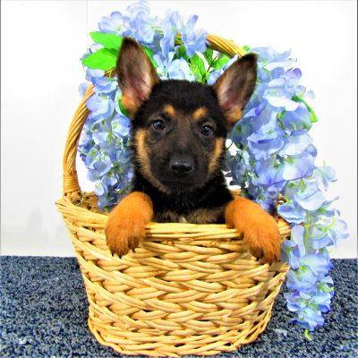 Fred - male AKC German Shepherds in Indiana for sale