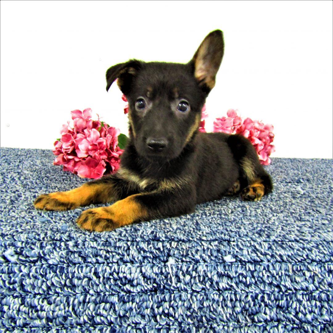 Suzie - female AKC German Shepherd puppy in New Haven, Indiana for sale