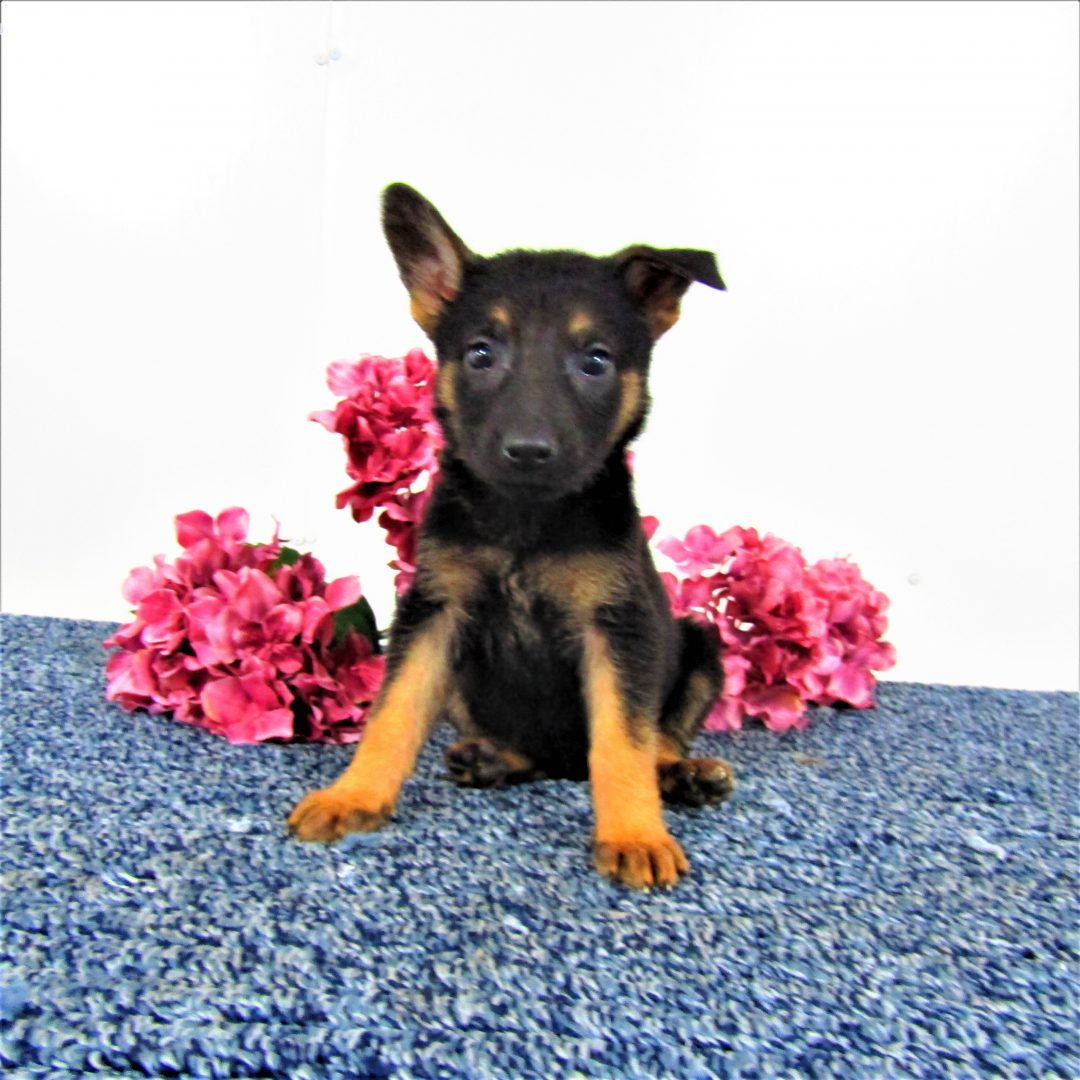 Sparkie - AKC German Shepherds for sale in New Haven, Indiana
