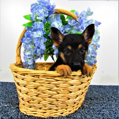 Sammy - male AKC German Shepherd pup for sale in New Haven, Indiana