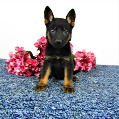 Bobby - male AKC German Shepherd puppy near Fort Wayne, Indiana