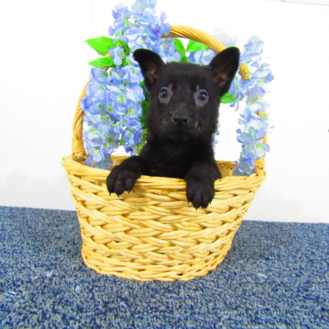 Midnight - German Shepherd puppies for sale in New Haven, Indiana