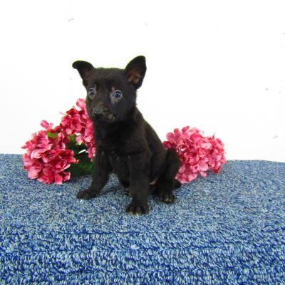 Midnight - German Shepherd puppies for sale in New Haven, Indiana