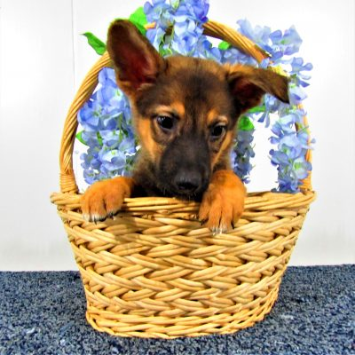 Misty - a female AKC German Shepherd puppy for sale near Fort Wayne, Indiana