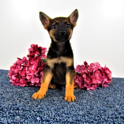 Mindy - female AKC German Shepherd pup for sale in Indiana