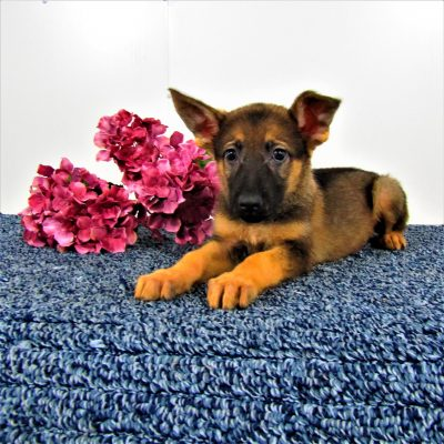 Mandy - a female AKC German Shepherd for sale in New Haven, IN