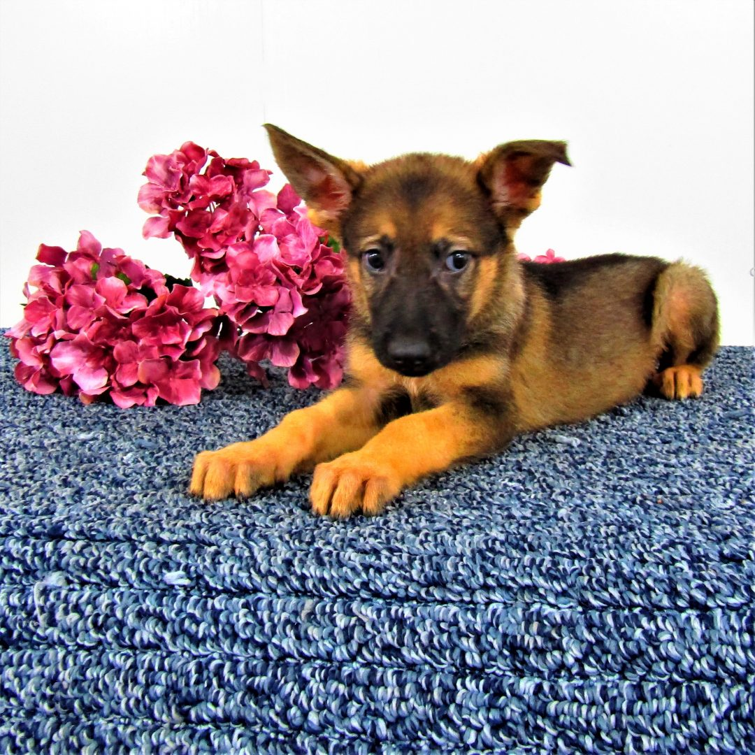 Mandy - a female AKC German Shepherd for sale in New Haven, IN