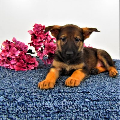 Molly - female AKC German Shepherds for sale in New Haven, Indiana