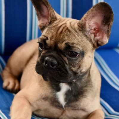 French bulldog puppy for sale in Stamford, Connecticut