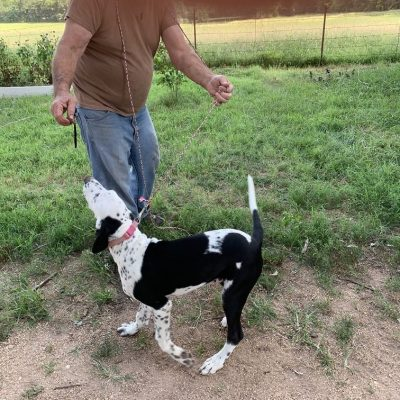Handsome Stranger: Male Dalmatian puppy for sale in Colcord, Oklahoma