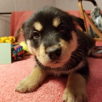 Loki - male Mixed breed for sale in Houghton Lake, Michigan